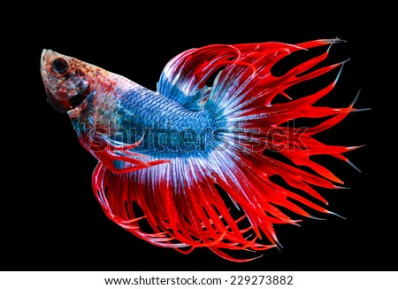 siamese fighting fish isolated on black background. - stock photo