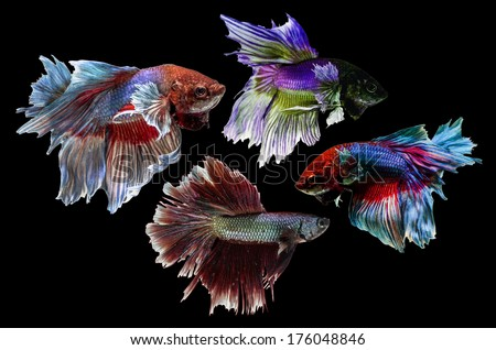 Siamese Fighting Fish isolated on black .Clipping path included. - stock photo