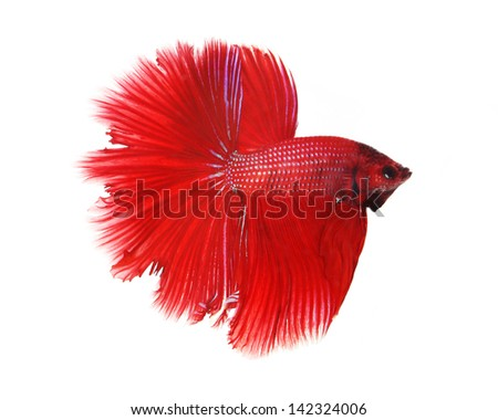 Siamese fighting fish isolated on white background, Half Moon Side View - stock photo