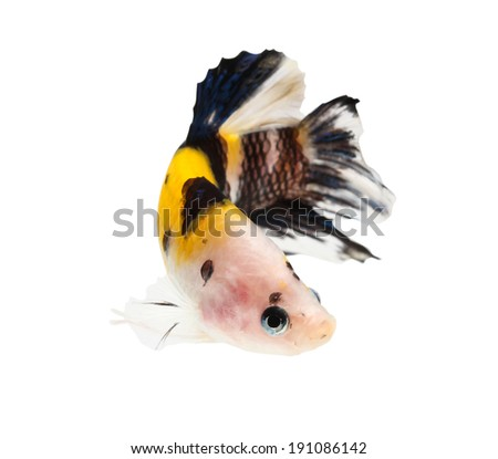 siamese fighting fish (koi style), betta isolated on white background.