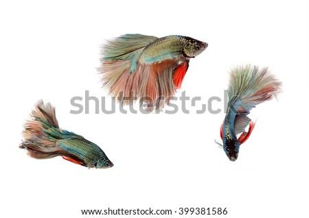 Siamese fighting fish on white background,Beautiful fish isolated - stock photo