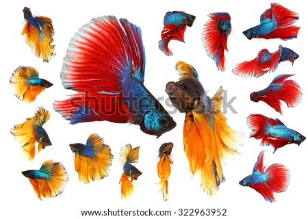Siamese fighting fish, red yellow and blue betta isolated on white background - stock photo