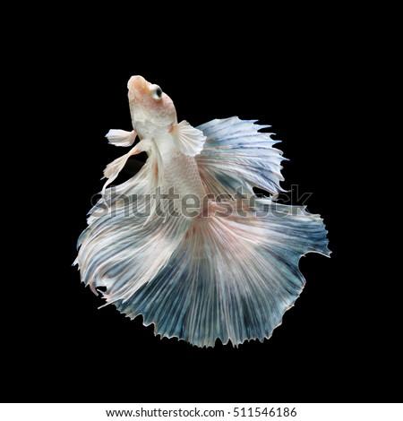 Siamese fighting fish smooth swim on stock photo 591899987 for Show betta fish