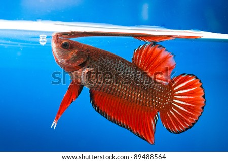 Siamese figthing fish - stock photo