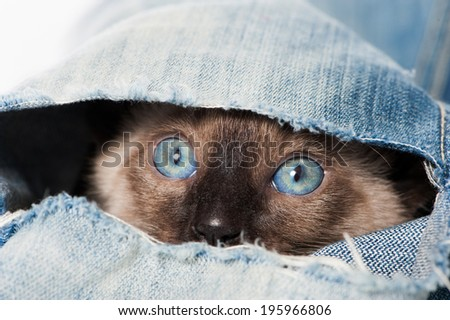 Siamese kitten plays with an old jeans