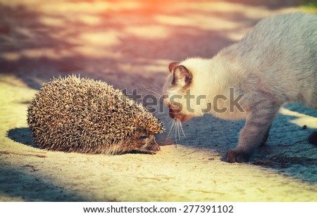 Siamese kitten sniffing a hedgehog - stock photo