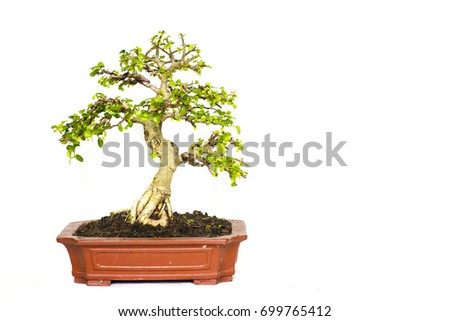 Siamese rough bush Tree isolated on a white background