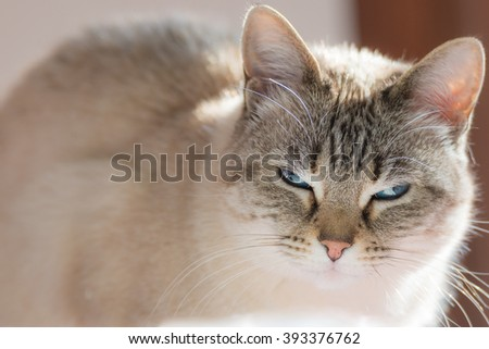 Siamese white cat with blue eyes looking at camera. Closeup in backlight. Natural light, very shallow depth of field, focused on the blue eyes. - stock photo
