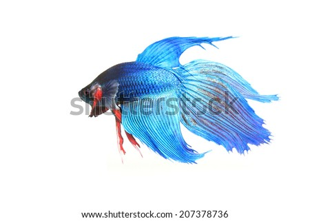 siamess fighting fish. - stock photo