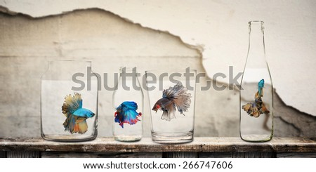 Siamess fighting fishs in bottles ,wall decoratiion background and soft tone as vintage. - stock photo