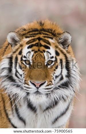 Siberian (Amur) tiger. Portrait by the closeup - stock photo