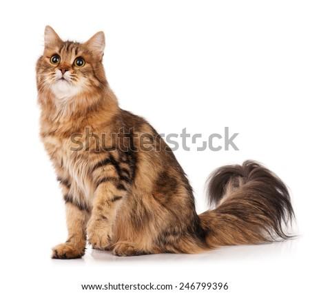 Siberian beautiful adult cat over white background - stock photo