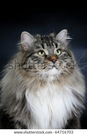 Siberian Black Tiger with white male cat on a black background - stock photo