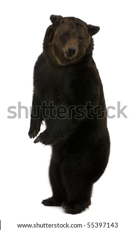 Siberian Brown Bear, 12 years old, standing upright against white background
