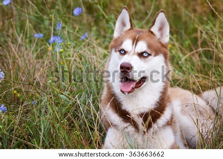 Siberian Brown Husky with blue eye at the green grass