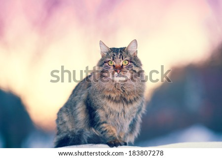 Siberian cat at sunset in winter