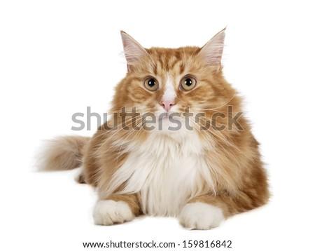 Siberian cat (Bukhara cat) on a white background in studio - stock photo