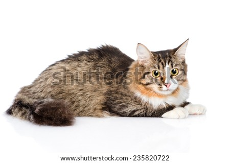 Siberian cat lying in profile. isolated on white background - stock photo