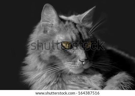 Siberian cat lying on a desk