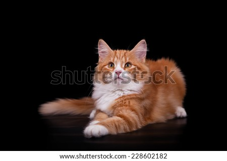 Siberian cat on black background. Cat lie with. - stock photo