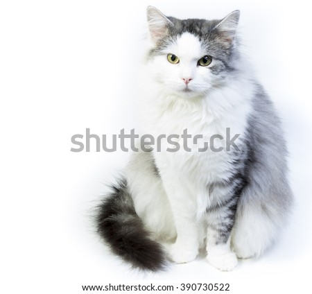 Siberian cat, portrait on a white background