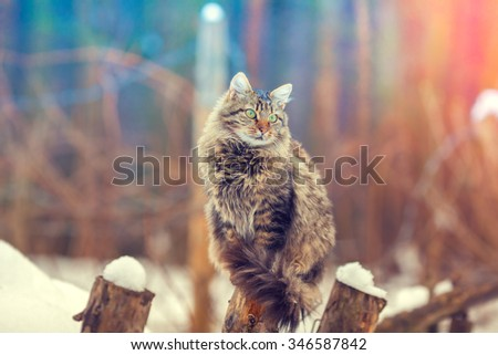Siberian cat siting outdoors in the snowy forest - stock photo