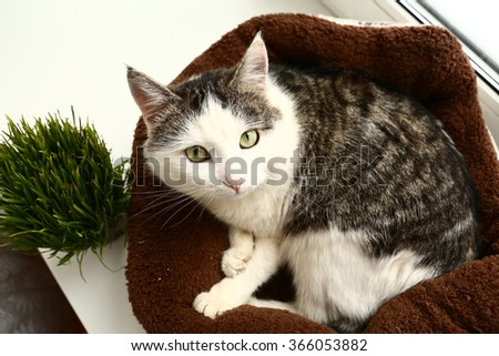 siberian cat with grass sprouts in the pot - stock photo