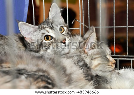 Siberian cats in a cage