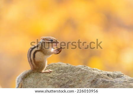 Siberian Chipmunk eating a walnut in Autumn forest. - stock photo