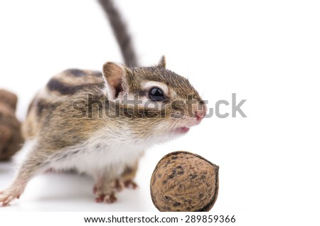 Siberian Chipmunk isolated on white. - stock photo