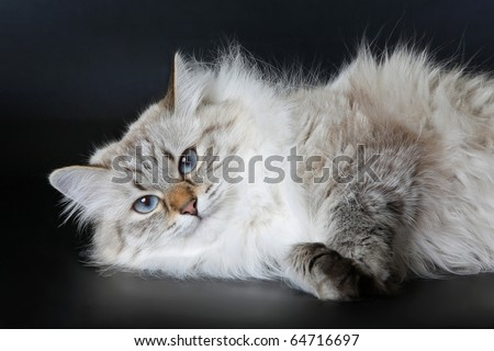 Siberian Color Point female cat on a black background - stock photo