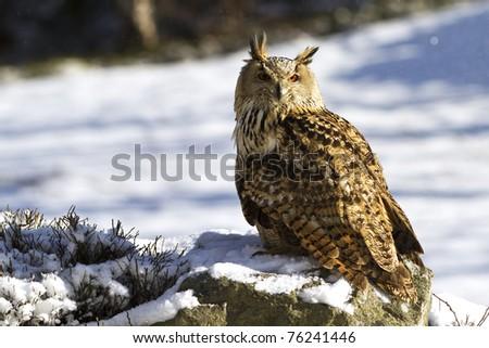 Siberian Eagle Owl - stock photo