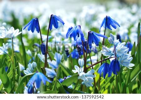 Siberian flower bed - stock photo