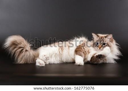Siberian forest kitten on black background - stock photo