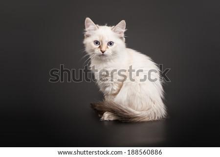 Siberian forest kitten on dark background - stock photo
