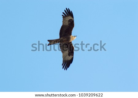 Siberian hunting falcon. Russian bird flying fast, looks for prey. Beautiful  feathered predator hovers in the blue sky, spreading its wings wide. Brown and gray hawk with a white head. Bottom view.