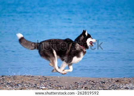Siberian Huskies on a beach - stock photo
