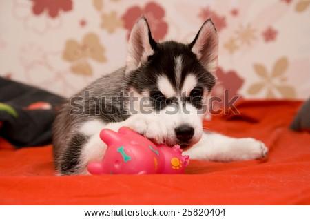 siberian husky - stock photo