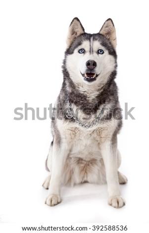 Siberian husky a blue-eyed dog. - stock photo