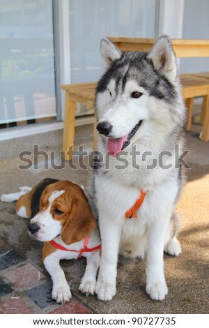 Siberian Husky and Beagle are sitting - stock photo