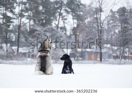 Siberian Husky and Spaniel are sitting his back to photographer. Winter walk of dogs in the park. - stock photo