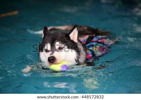 Siberian husky black and white colors wear life jacket enjoyed in swimming pool, dog swimming, happy dog, dog activity - stock photo