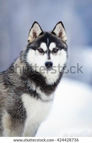 Siberian Husky black dog portrait in winter outdoor - stock photo