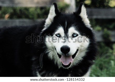 Siberian husky chilling with opened mouth - stock photo
