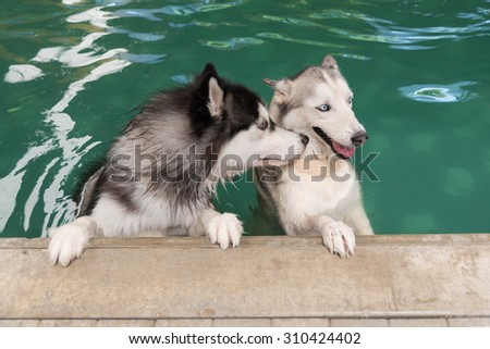 Siberian husky dog exercising in a swimming pool