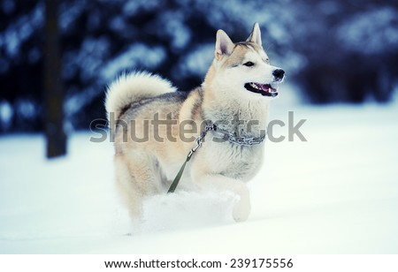 Siberian husky dog in snow - stock photo
