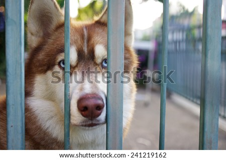 Siberian husky dog is staying behind the fences  - stock photo