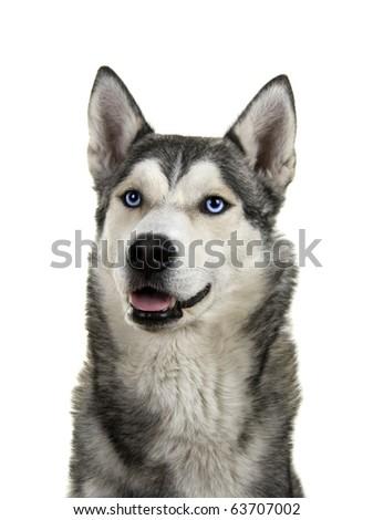 Siberian husky dog isolated on a white background - stock photo