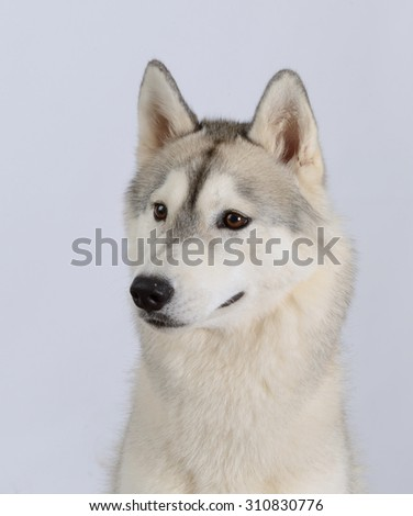 Siberian husky dog portrait , isolated on grey background.