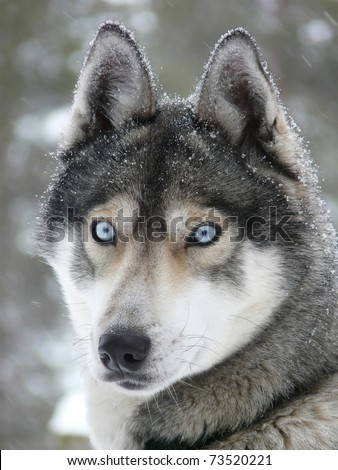 Siberian husky dog (sled dog) with blue eyes in the snow. - stock photo